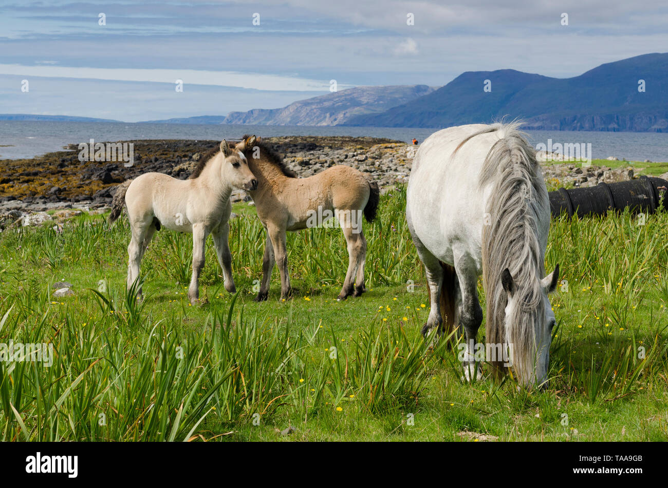 Highland pony mare and two foals Stock Photo