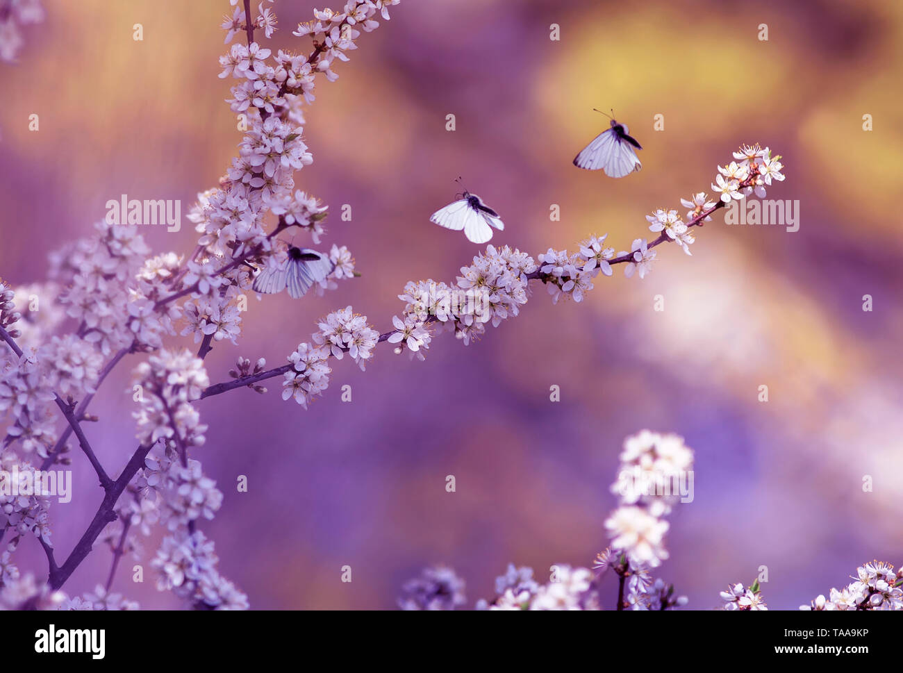 three white beautiful little butterflies fly to the branches with fluffy fragrant flowers and shrub buds blossoming in May warm sunny garden - Stock Image