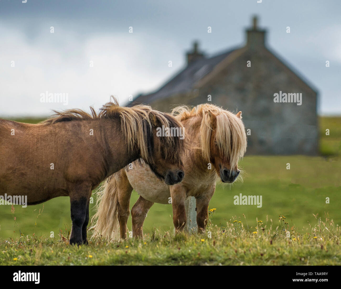 Two shetland ponies and cottage, Shetland - Stock Image