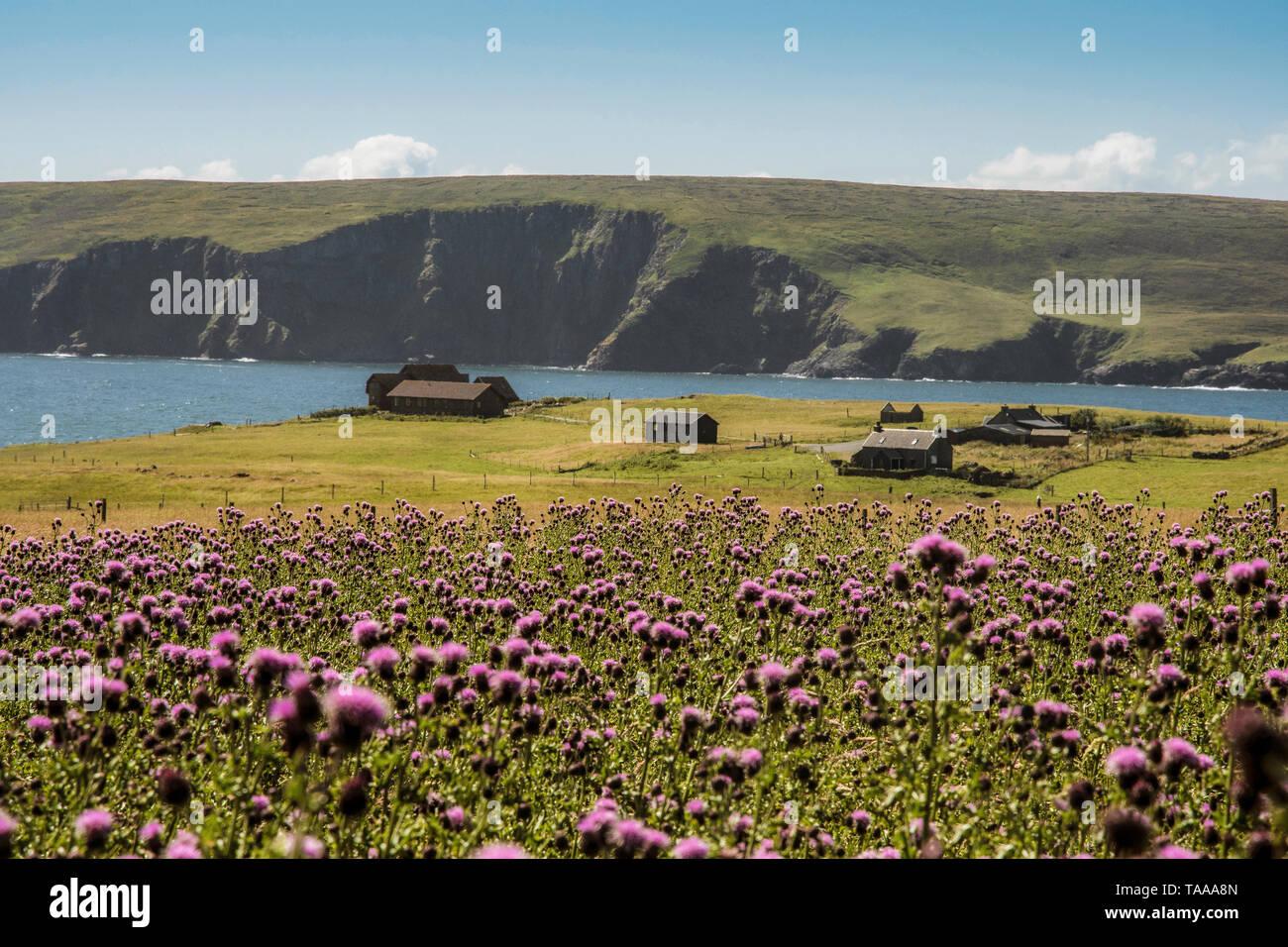 Thistle meadow, Fetlar, Shetland - Stock Image