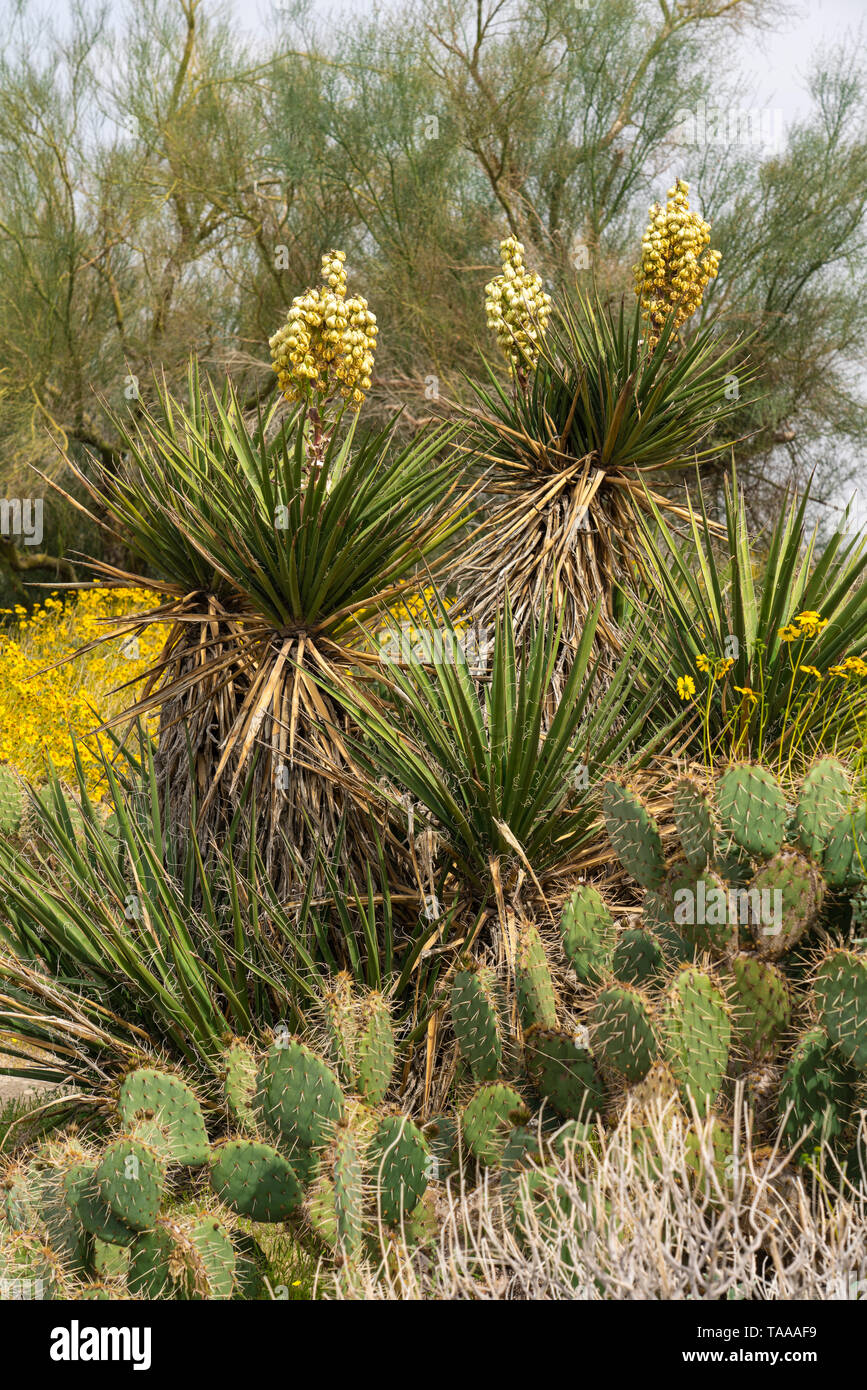 The yucca and brittle bush  blooming in the Anza-Borrego State Park,California, USA. - Stock Image