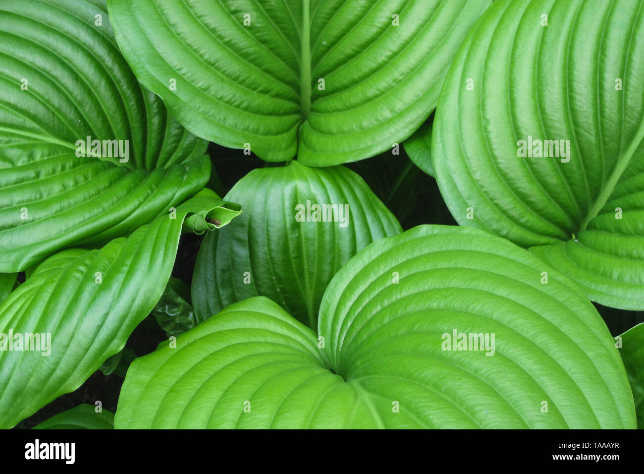 King of Heart leaves green plant background. Big tropical exotic leaf Stock Photo