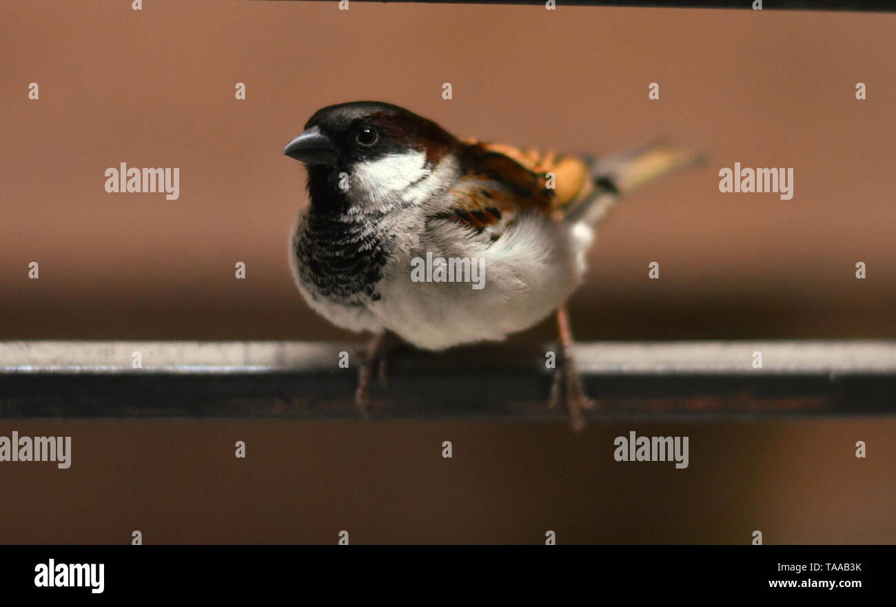Picture of a sparrow. - Stock Image
