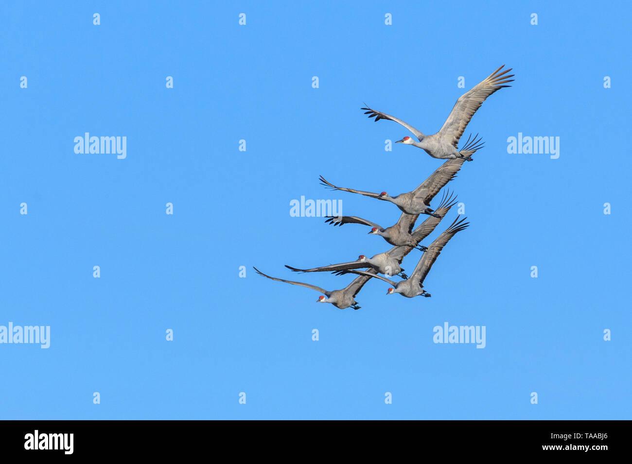 Sandhill Cranes in flight near the Platte River in Nebraska. - Stock Image