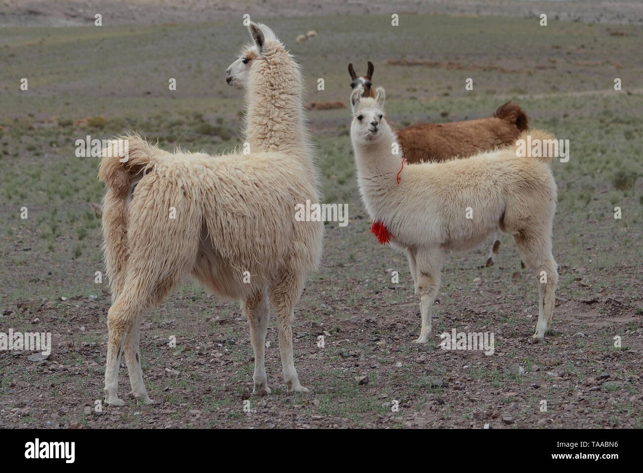LLAMAS IN CHILE. - Stock Image
