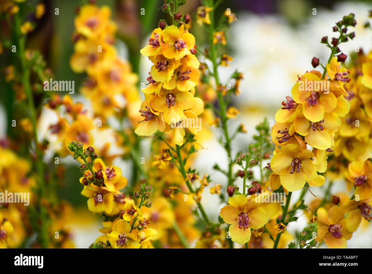 Orange Verbascum Close Up Morgan Stanley Garden Stock Photos