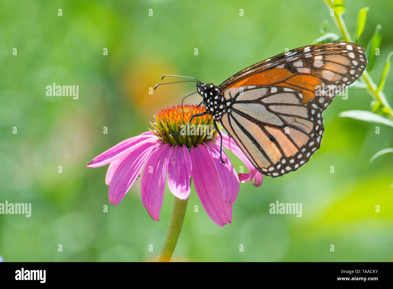 Monarch butterfly on purple wildflower in the Minnesota Valley National Wildlife Refuge - Stock Image
