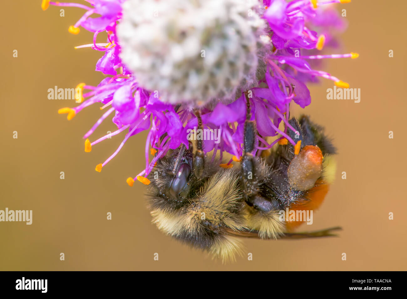Orange-belted bumble bee on purple prairie clover at Crex Meadows Wildlife Area in Northern Wisconsin - detailed extreme close up macro of insect - Stock Image