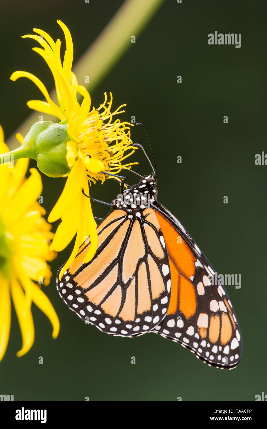 Monarch butterfly on yellow wildflower in Theodore Wirth Park in Minneapolis, Minnesota - Stock Image