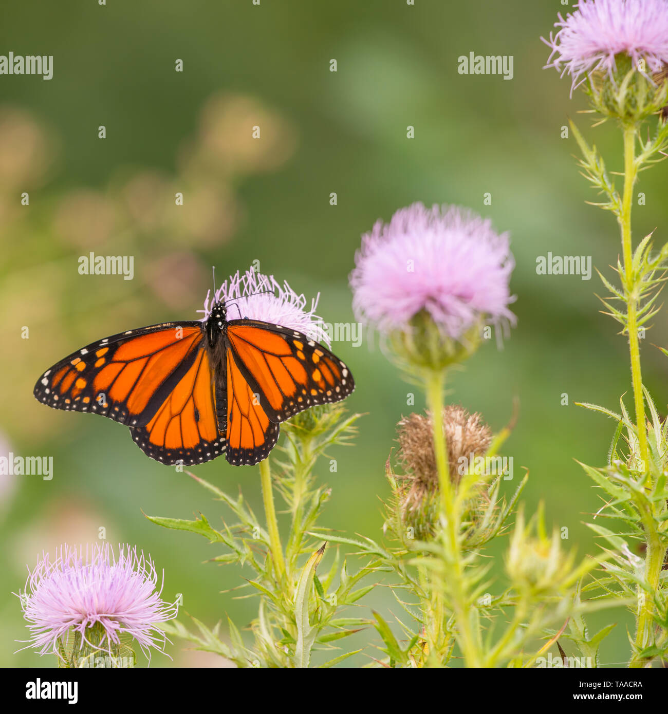 Monarch butterfly on purple wildflower in Theodore Wirth Park in Minneapolis, Minnesota - Stock Image