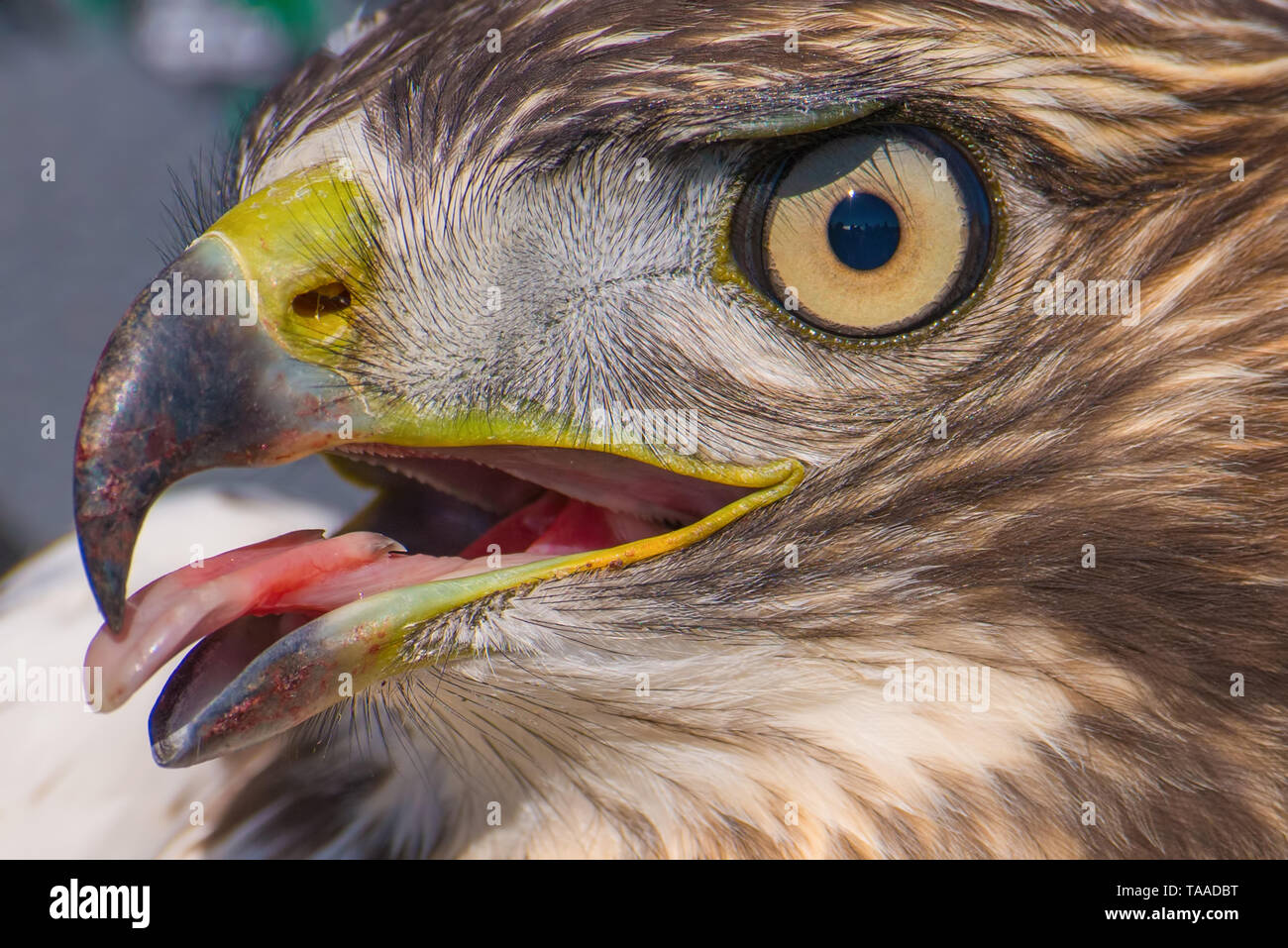 I believe a sharp-shinned juvenile hawk portrait with tongue sticking out - close up - at Hawk Ridge Bird Observatory in Duluth, Minnesota during Fall - Stock Image