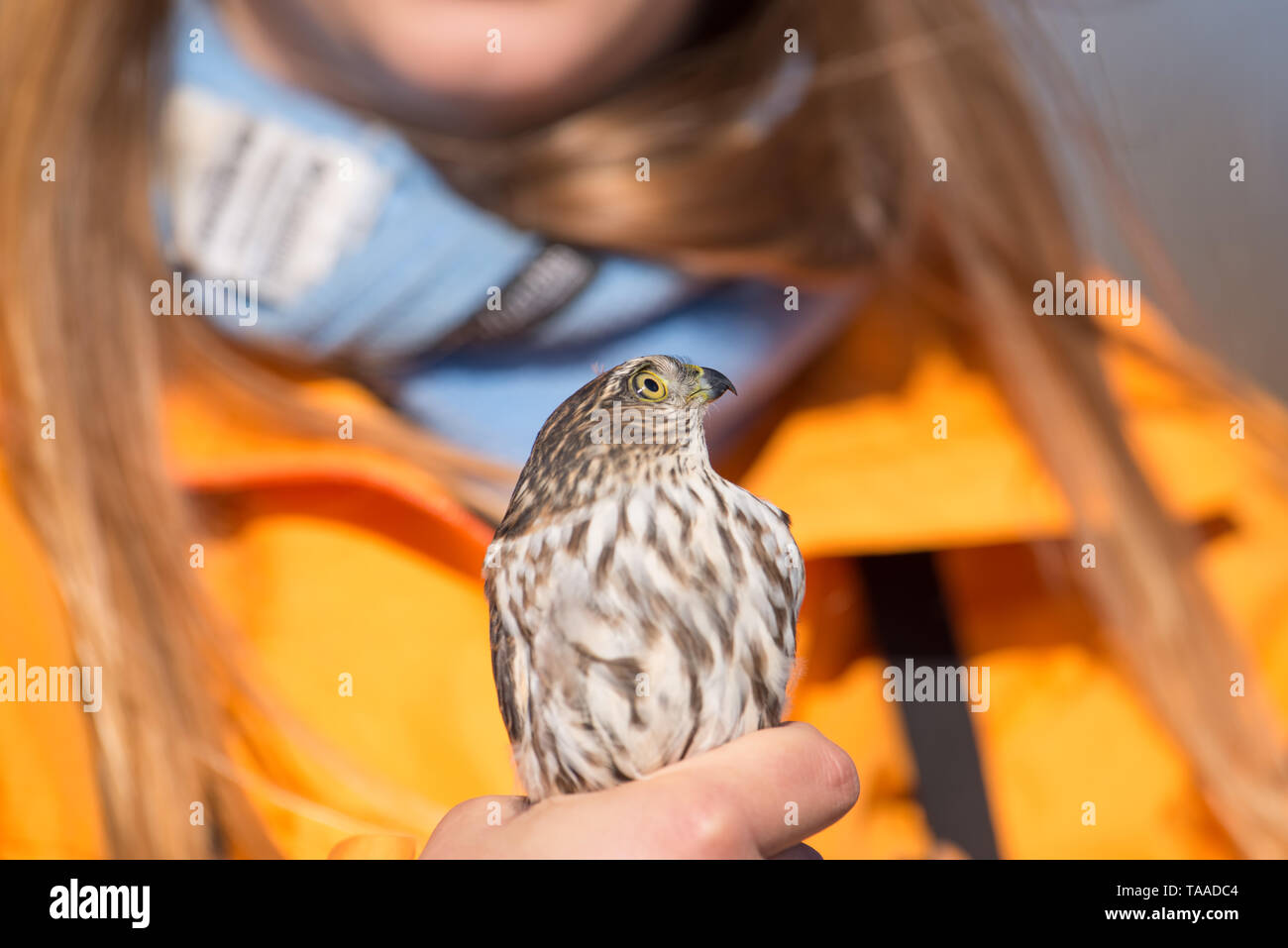 Educator holding (I believe) a sharp-shinned juvenile hawk - portrait close up - at Hawk Ridge Bird Observatory in Duluth, Minnesota during Fall migra - Stock Image