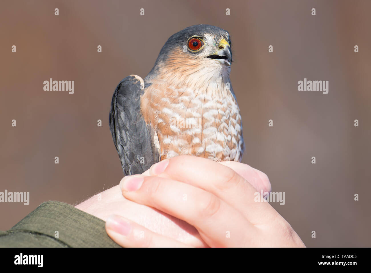 Sharp-shinned adult hawk portrait while being held after getting mist netted - released after data taken - at Hawk Ridge Bird Observatory in Duluth, M - Stock Image