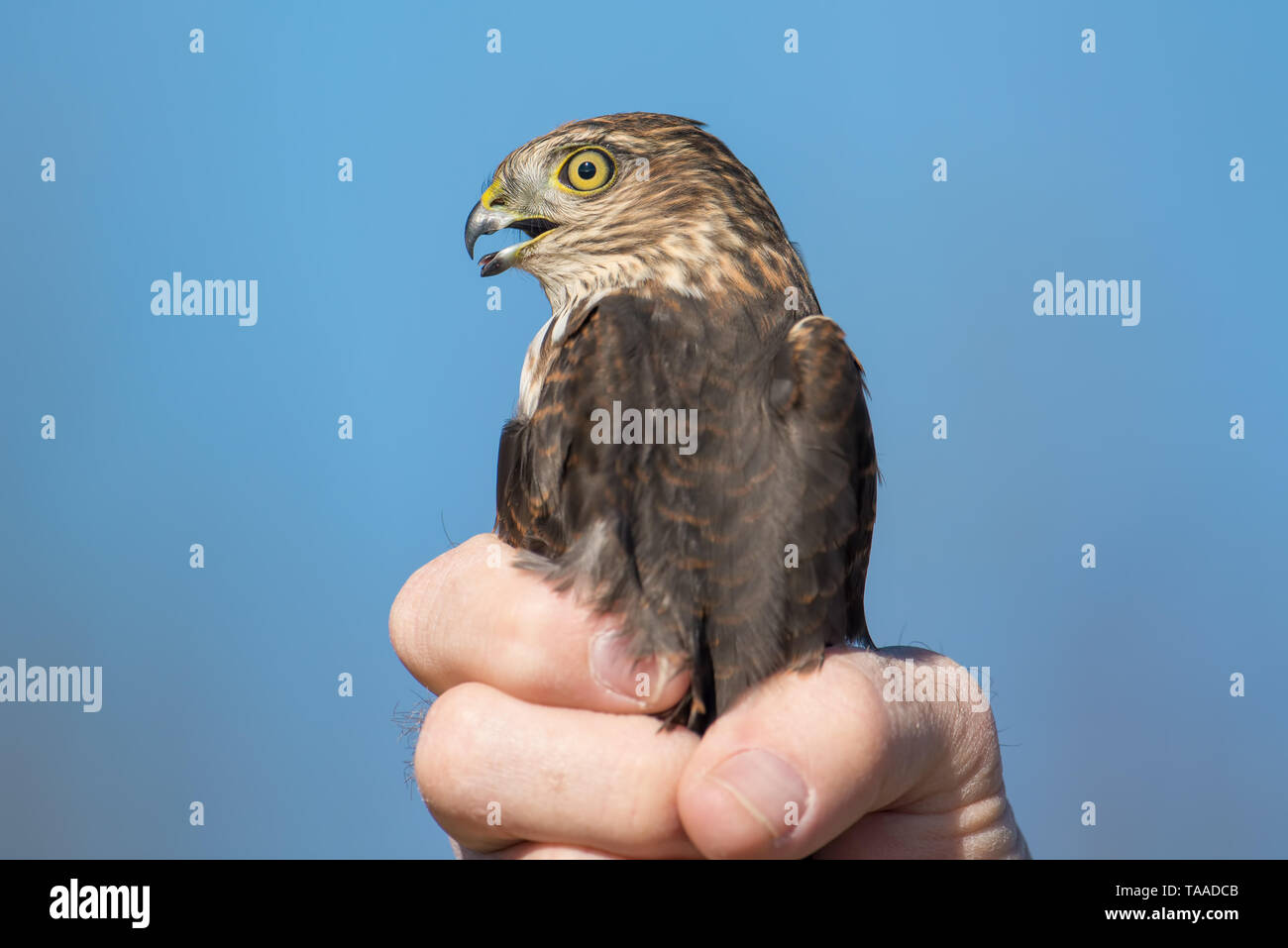 I believe a sharp-shinned juvenile hawk portrait - close up - at Hawk Ridge Bird Observatory in Duluth, Minnesota during Fall migrations - Stock Image