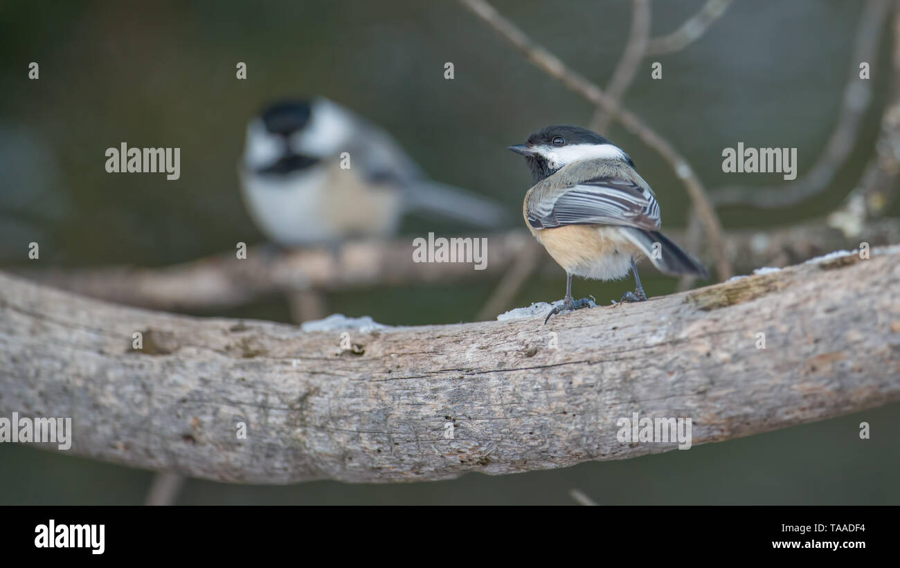 Chickadees perched on branches in the Sax-Zim Bog in winter - Stock Image