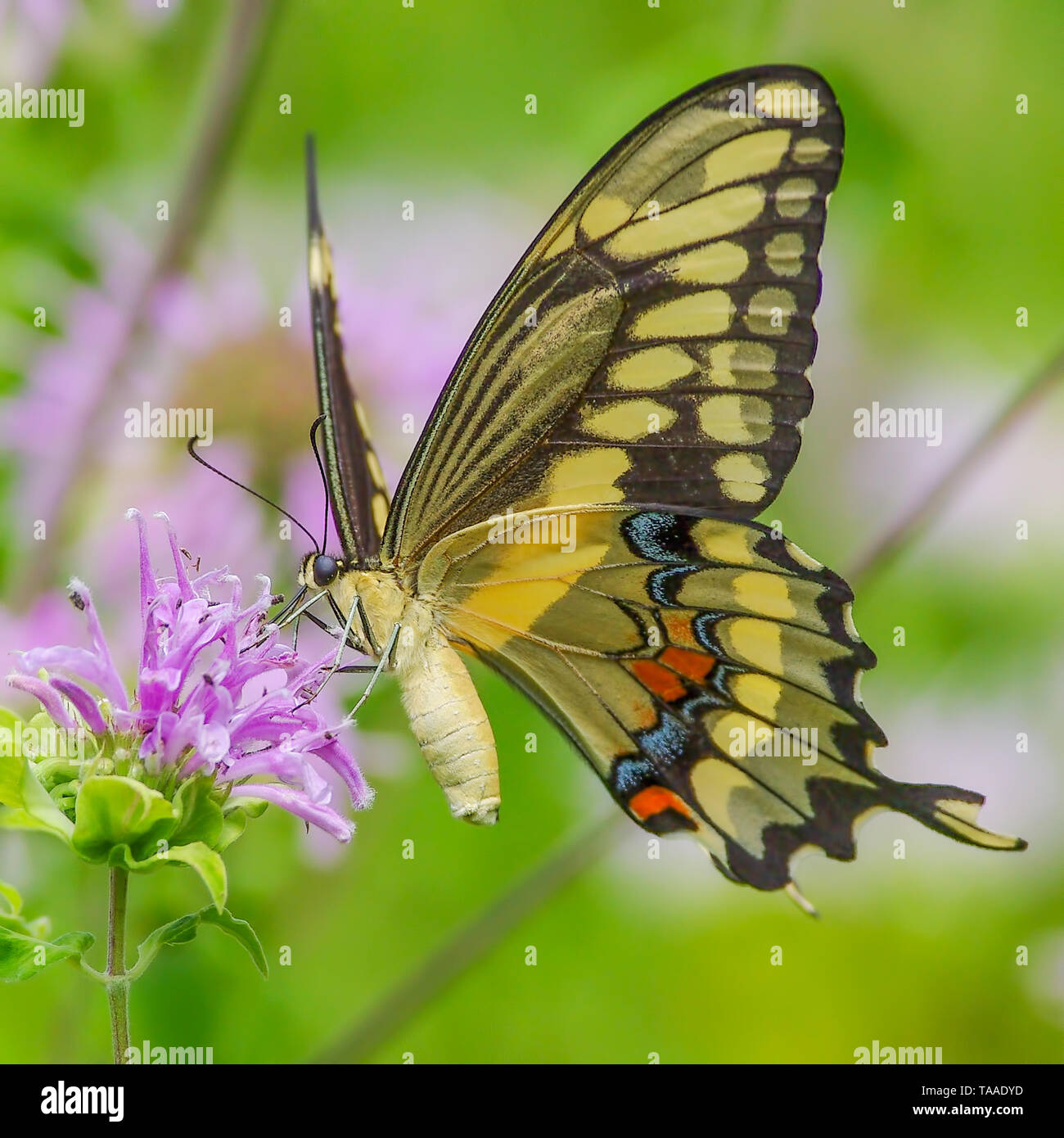 Swallowtail butterfly feeding on a purple wildflower in Theodore Wirth Park in Minneapolis, Minnesota - Stock Image