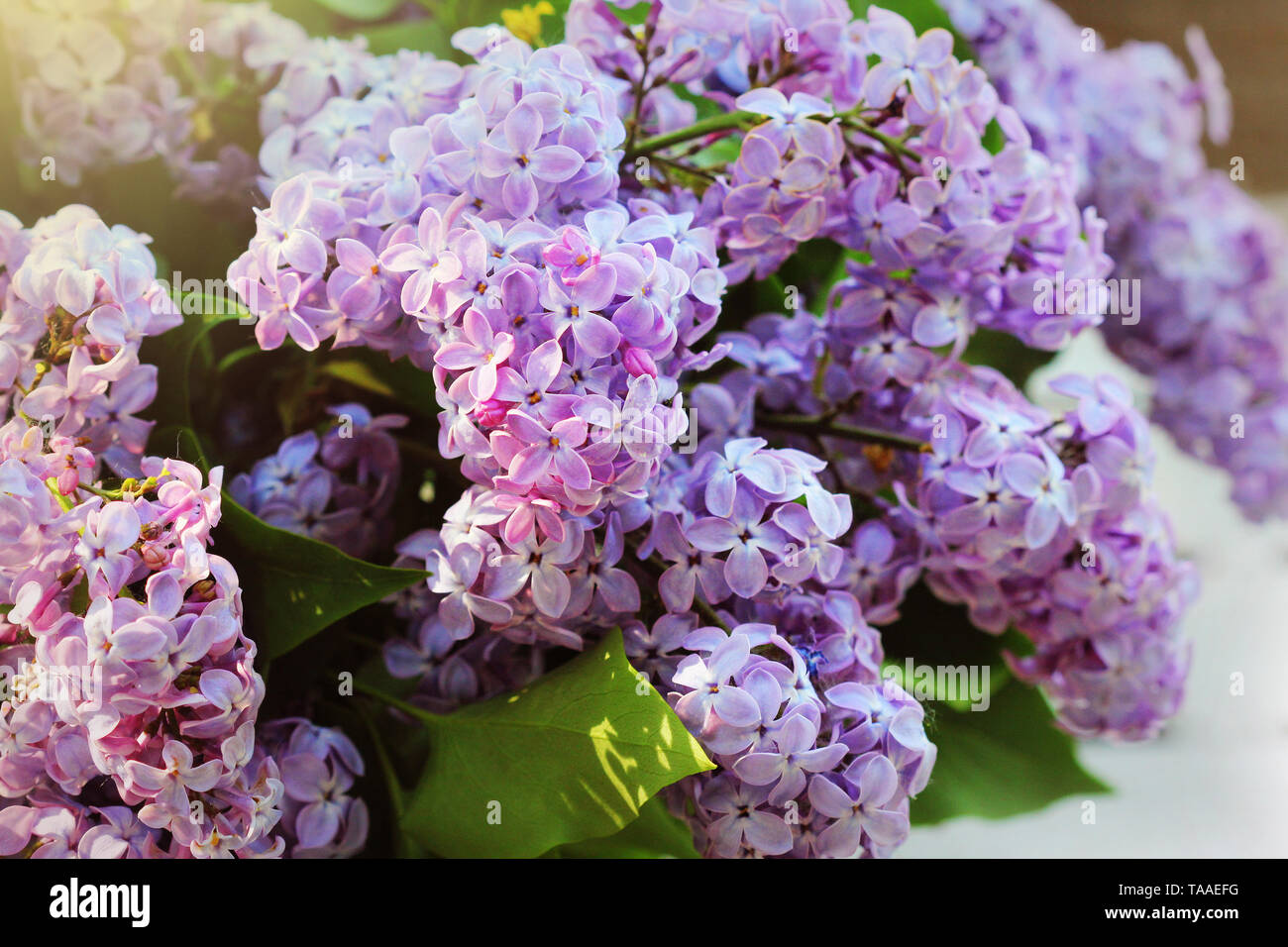 A branch of sirens on a tree in a garden, park. Beautiful flowering flowers of lilac tree at spring. Blossom in Spring. Spring concept. - Stock Image