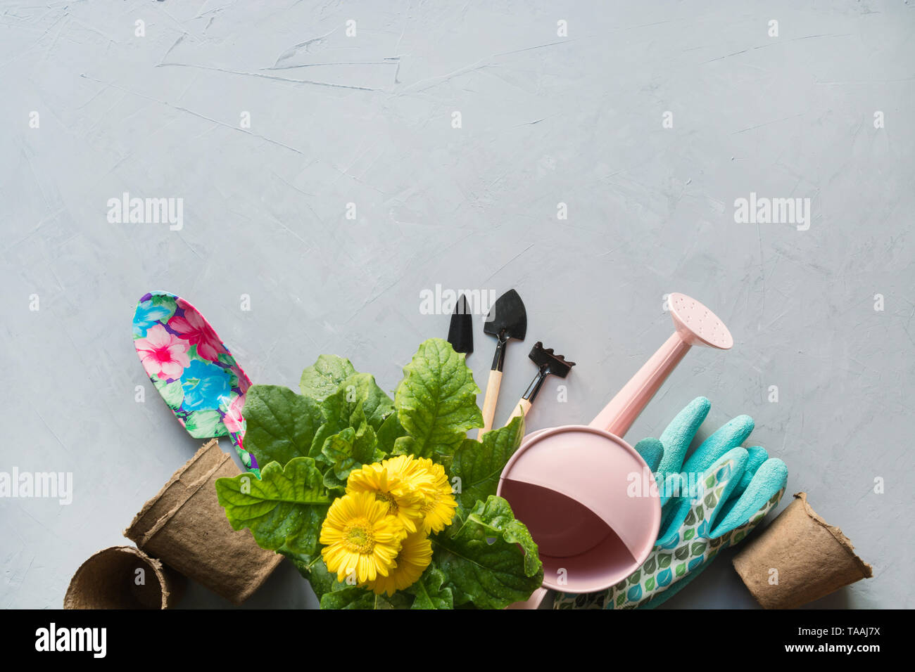 Gardening background with yellow gerbera, tolls and garden flowers plant on gray concrete background. Top view, place for text. - Stock Image