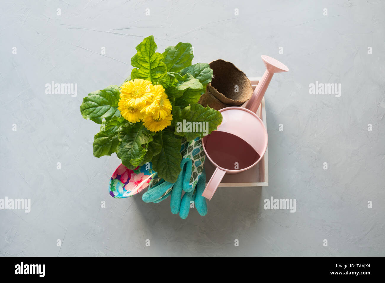 Gardening background with yellow gerbera, tolls and garden flowers plant in box on gray concrete background. Top view. - Stock Image