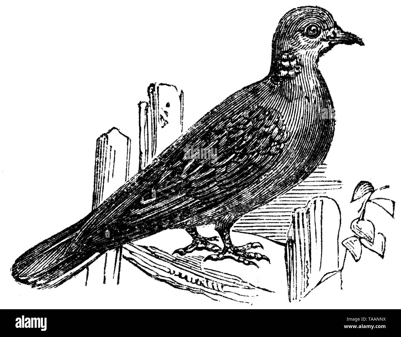 Wood cut engraved illustration, taken from 'The Treasury of Natural History' by Samuel Maunder, published 1848 Stock Photo
