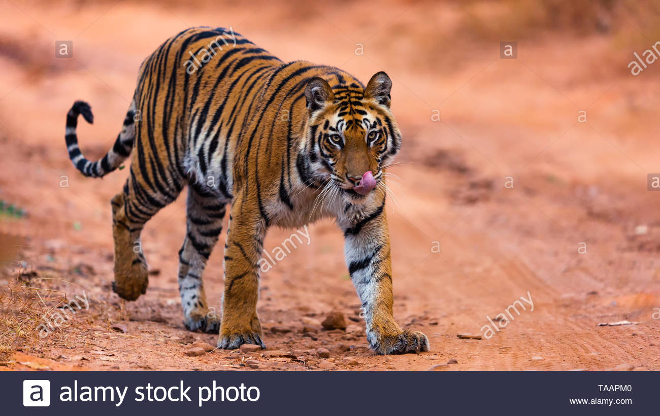 Yummy ... head on shot with eyes locked with the most beautiful predator - the Royal Bengal Tiger Stock Photo