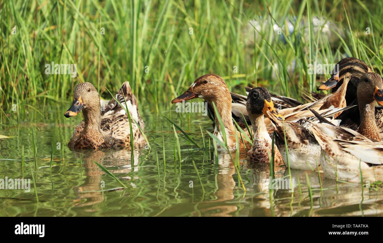 Ducks Swimming in Water - Stock Image