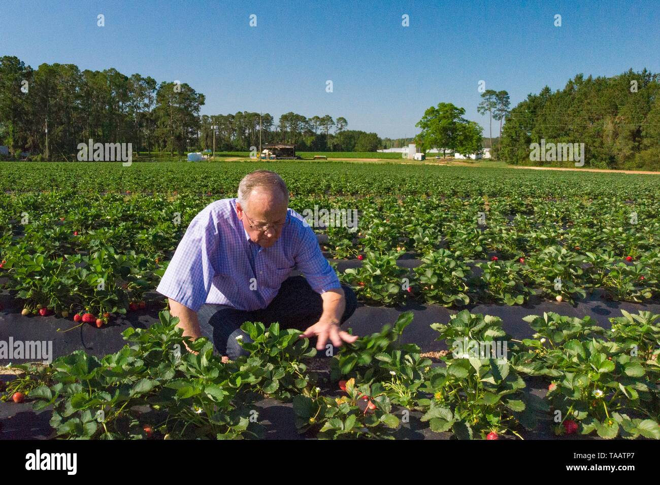 William L. Brim, owner of Lewis Taylor Farms, checks the condition of his strawberries, in preparation for harvest by migrant labor May 7, 2019 in Fort Valley, Georgia. A, on May 7, 2019. Farms rely on seasonal labor using the H-2A visa program for temporary agricultural workers often called the guest worker program. - Stock Image