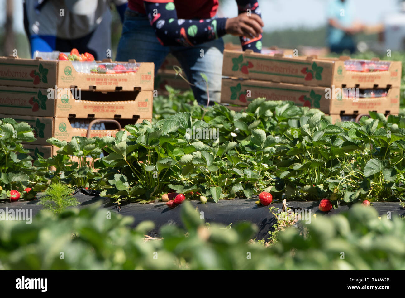 Farm workers pick and pack strawberries at Lewis Taylor Farms using legal Mexican labor May 7, 2019 in Fort Valley, Georgia. A, on May 7, 2019. Farms rely on seasonal labor using the H-2A visa program for temporary agricultural workers often called the guest worker program. - Stock Image