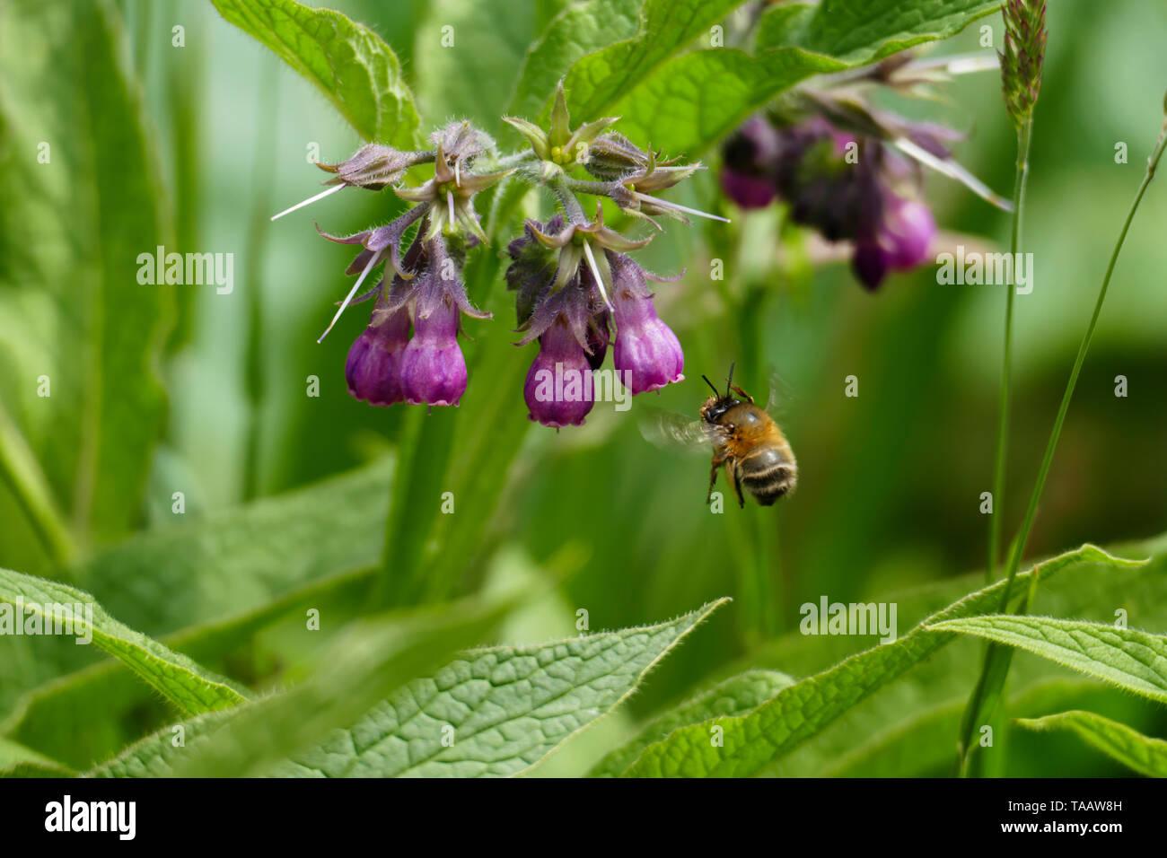ummel fliegt auf eine lila, violett farbene Beinwell Blüte, auf einer Wiese - Stock Image