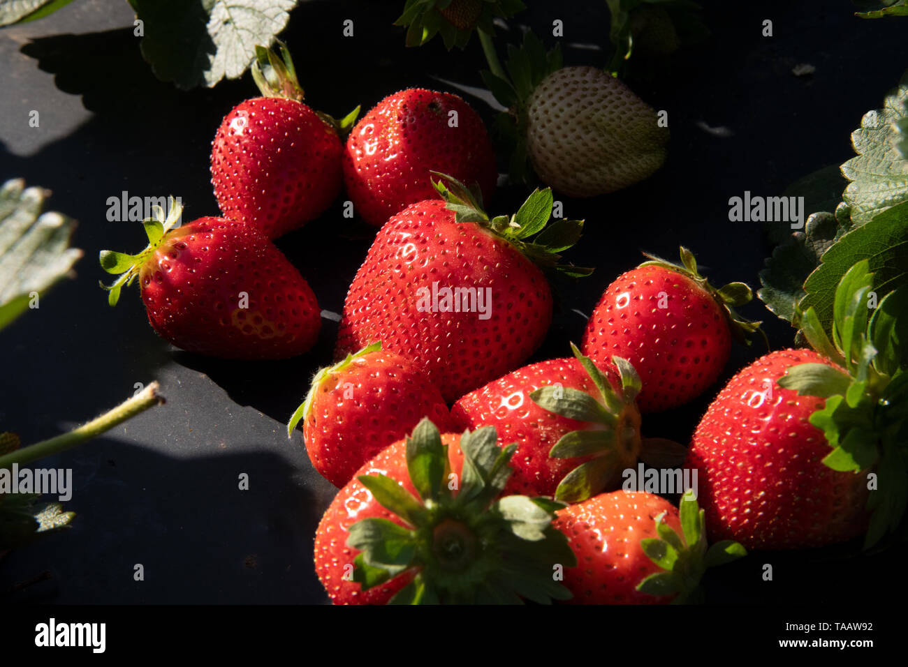 Farm fresh strawberries at Lewis Taylor Farms await harvest May 7, 2019 in Fort Valley, Georgia. A, on May 7, 2019. Farms rely on seasonal labor using the H-2A visa program for temporary agricultural workers often called the guest worker program. - Stock Image