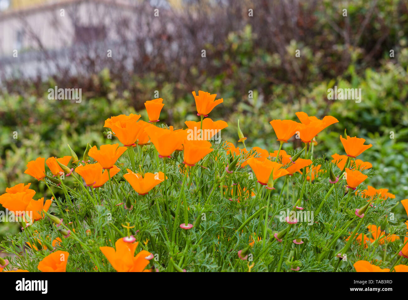 California Golden Poppy Field At A San Francisco Bay Area Hiking