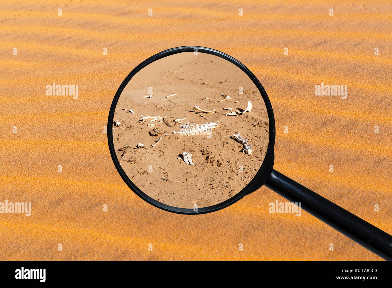 bones of an animal in the desert, view through a magnifying glass against the background of sand Stock Photo