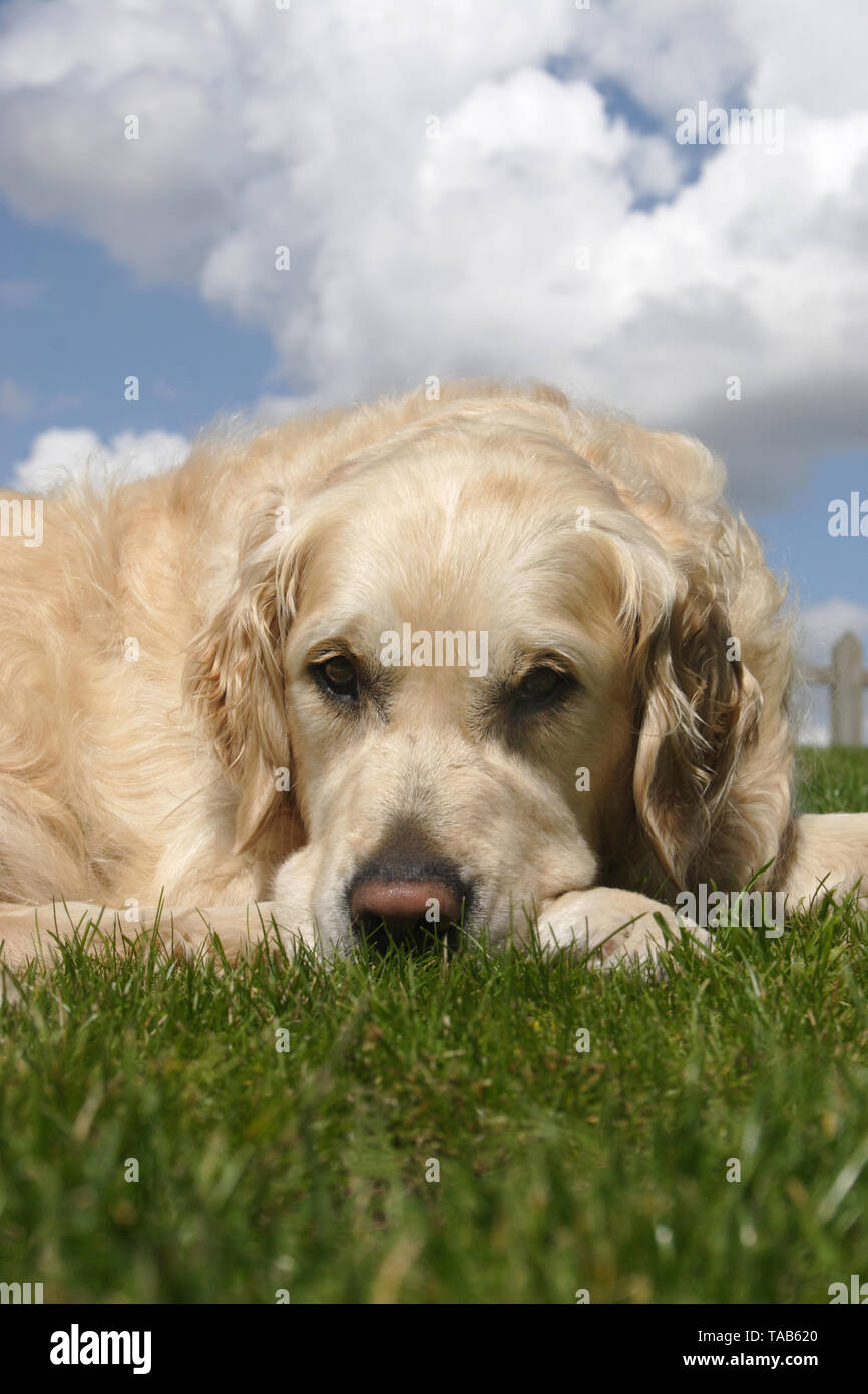 golden retriever, adult dog lying on grass with head resting on paws - Stock Image