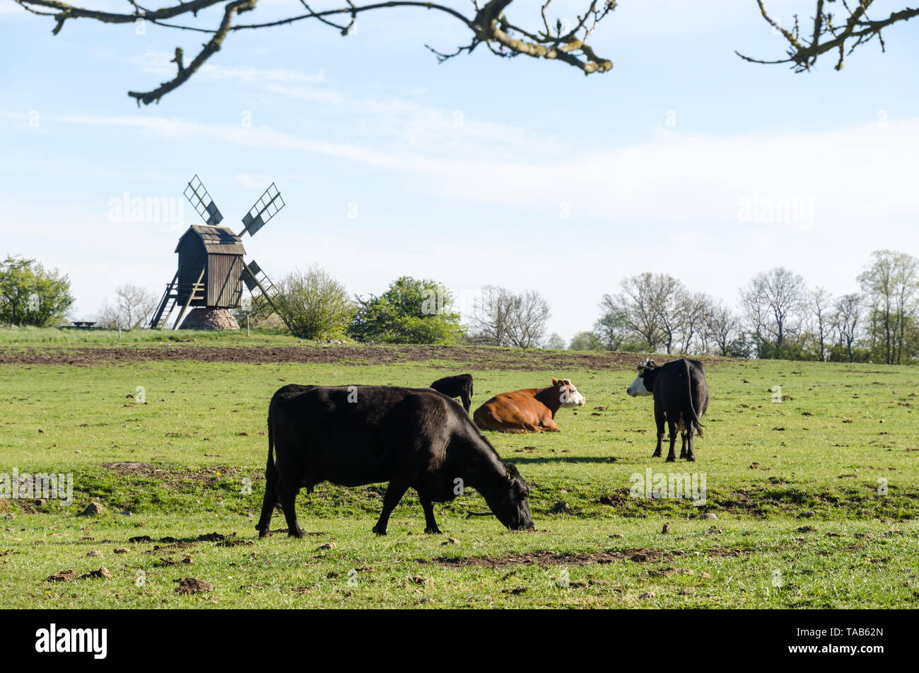 Grazing cattle in a pastureland with an old wooden windmill in the swedish nature reserve at Horns Kungsgard on the island Oland - Stock Image