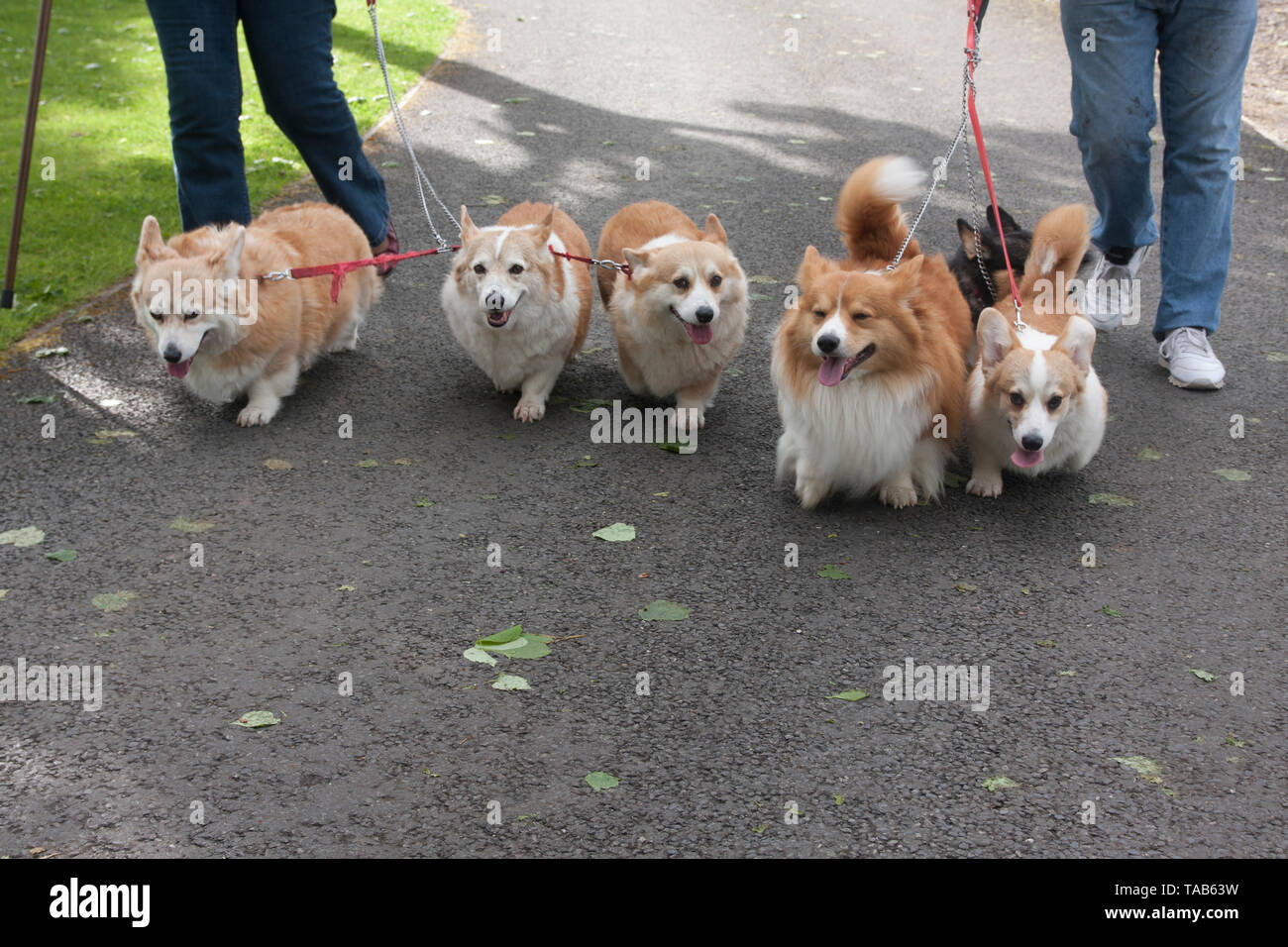 Corgi Dogs, Owners walking Group of six adults joined on on leads, England, UK - Stock Image