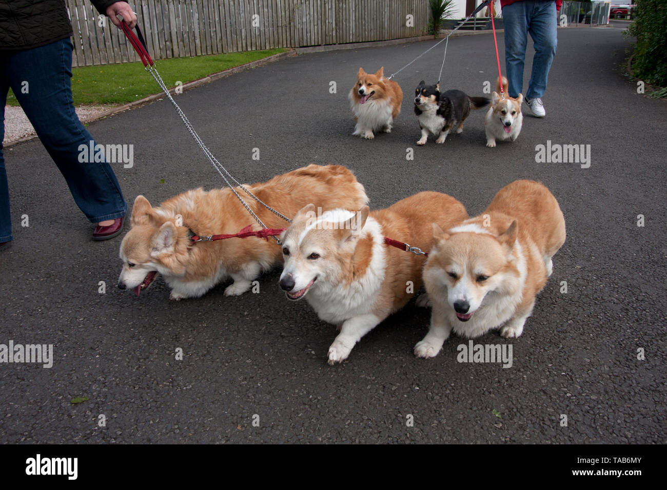 Corgi Dogs, Group of six adults being walked on leads, England, UK - Stock Image