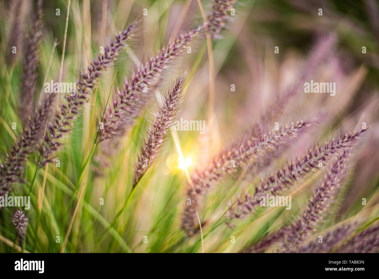 Colorful flowers in purple spikes, purple fountain grass, close-up useful as a natural relaxation background. - Stock Image