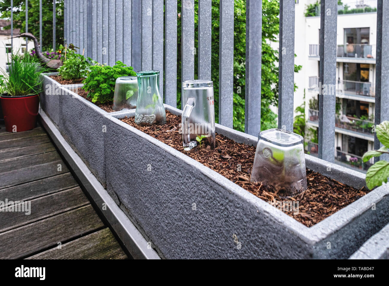 Balcony herb garden. Pot plants with chilli plants covered in drinking glasses to protect from cold wind - Stock Image