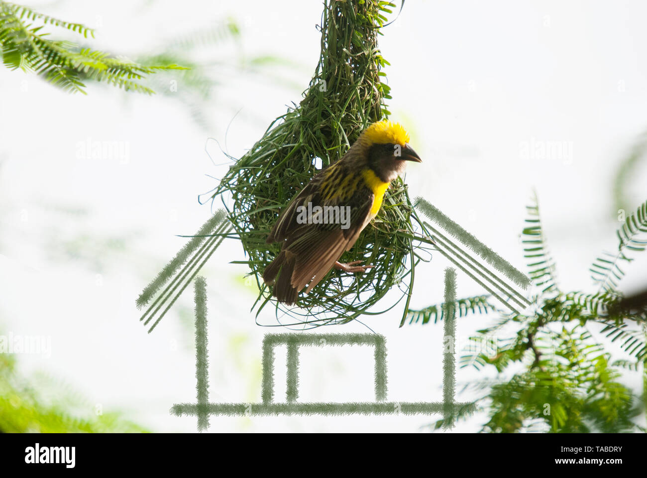 House building concept - baya weaver bird building nest  with grass strips - Stock Image