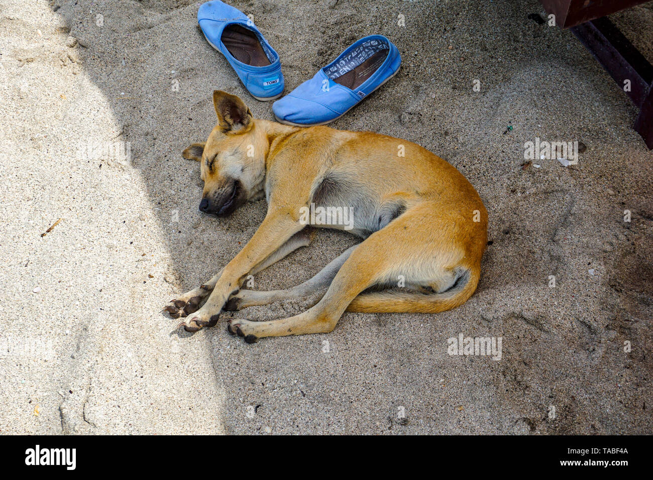Yellow stray dog sleeping on the sandy beach. - Stock Image