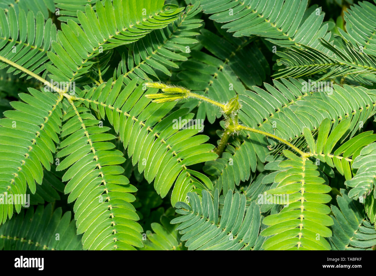 Sensitive plant / sleepy plant / touch-me-not (Mimosa pudica) close-up of leaflets, native to South America and Central America - Stock Image
