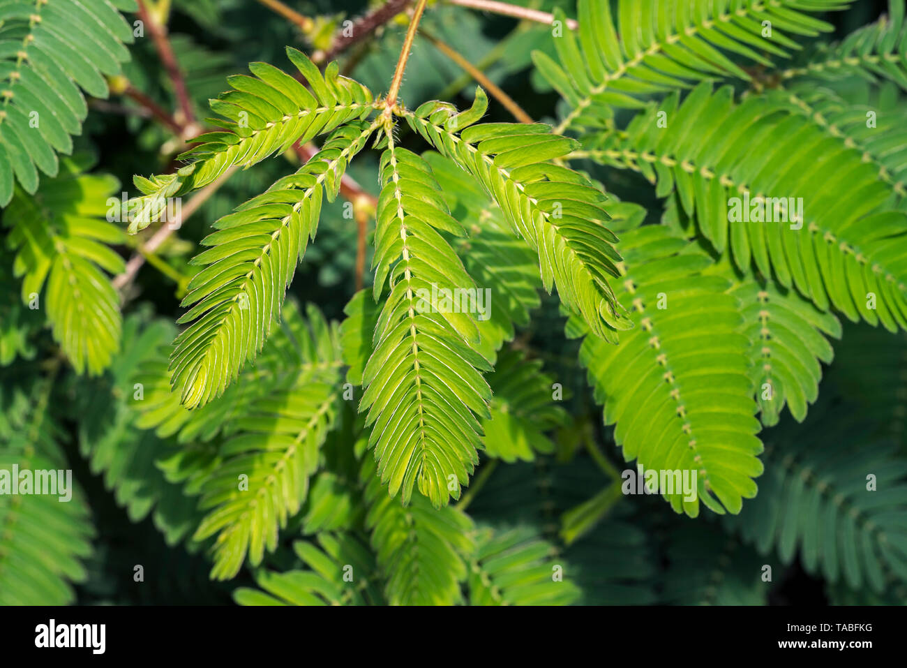Sensitive plant / sleepy plant / touch-me-not (Mimosa pudica) close-up of leaflets folding inwards, native to South America and Central America Stock Photo