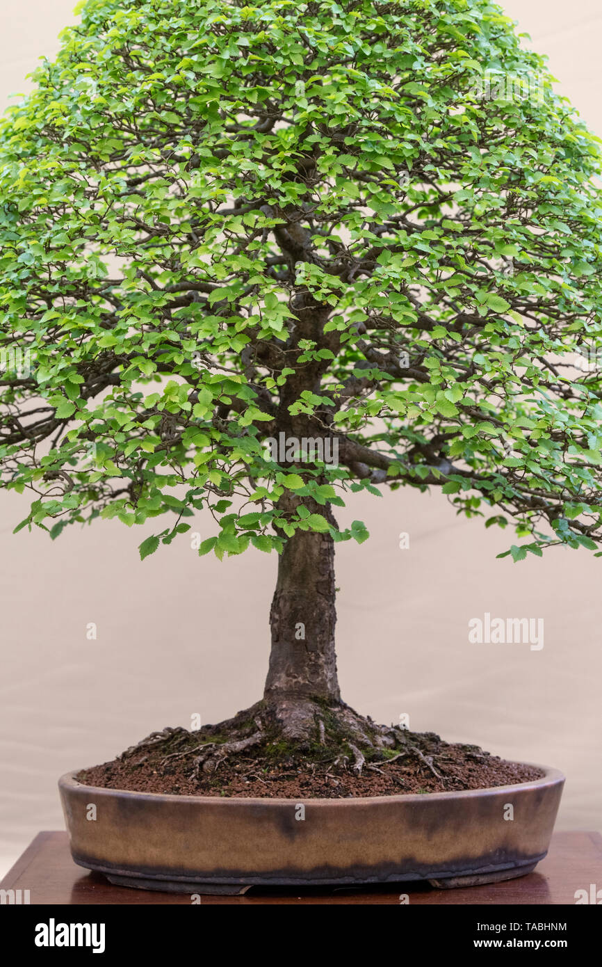 Ulmus Pumila Siberian Elm Bonsai Tree Against A Cream Colour Background On Display At Rhs Malvern Spring Festival Worcestershire Uk Stock Photo Alamy