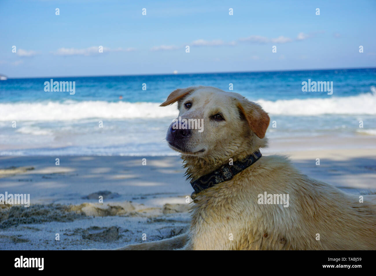 Yellow stray dog walking on the sandy beach. - Stock Image