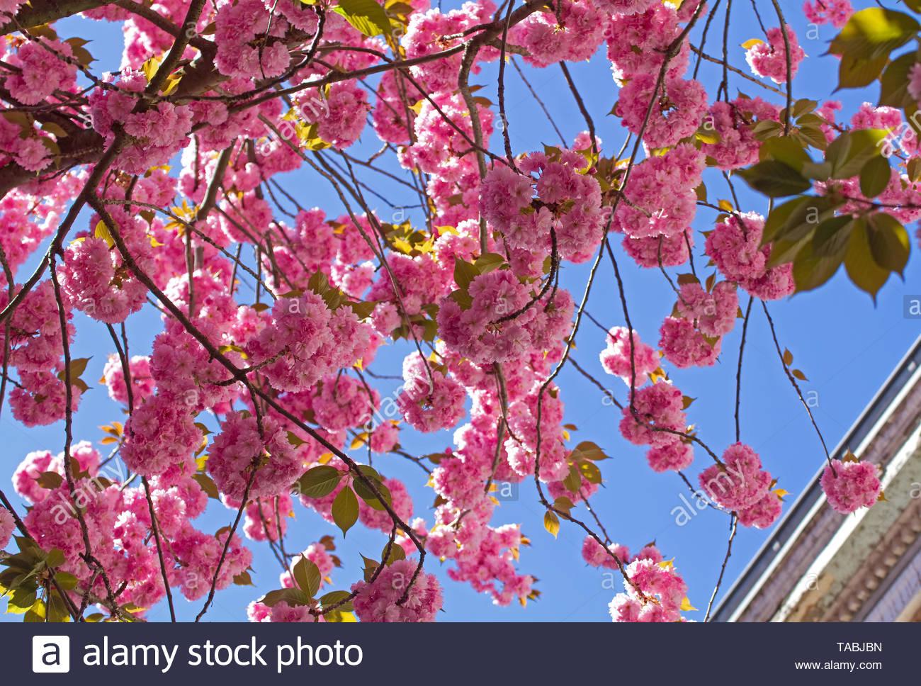 Cherry blossom in Bonn, Heerstraße - Stock Image
