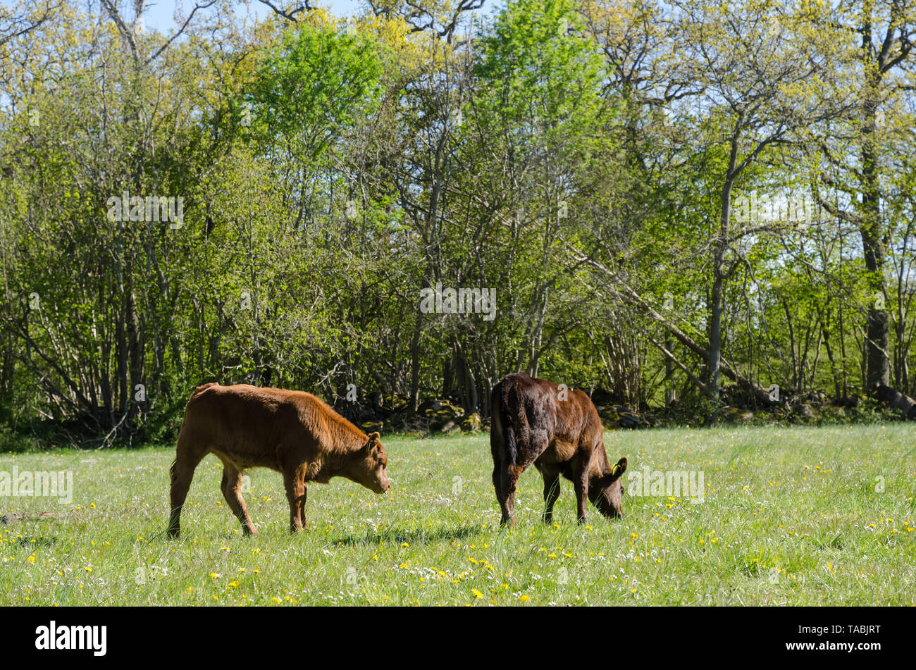 Calves grazing in a green pastureland with yellow flowers at the swedish island Oland - Stock Image