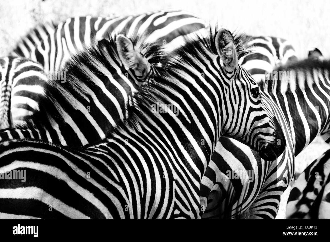 A black and white herd of zebra blend together in an optical illusion stock image