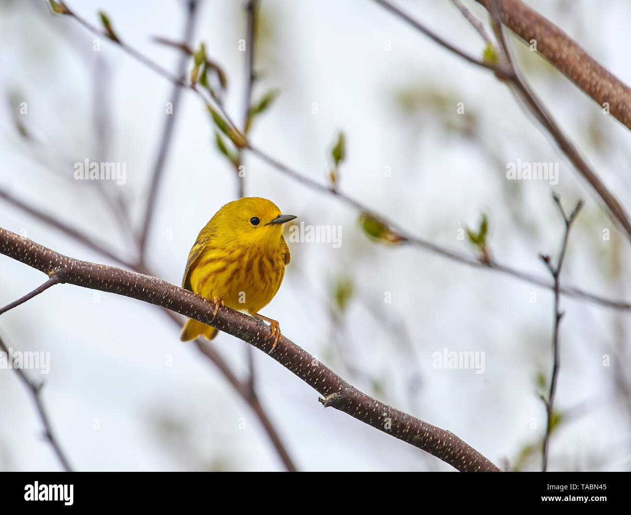 Yellow Warbler (Dendroica petechia) perched in a tree, French Basin trail, Annapolis Royal, Nova Scotia, Canada, - Stock Image