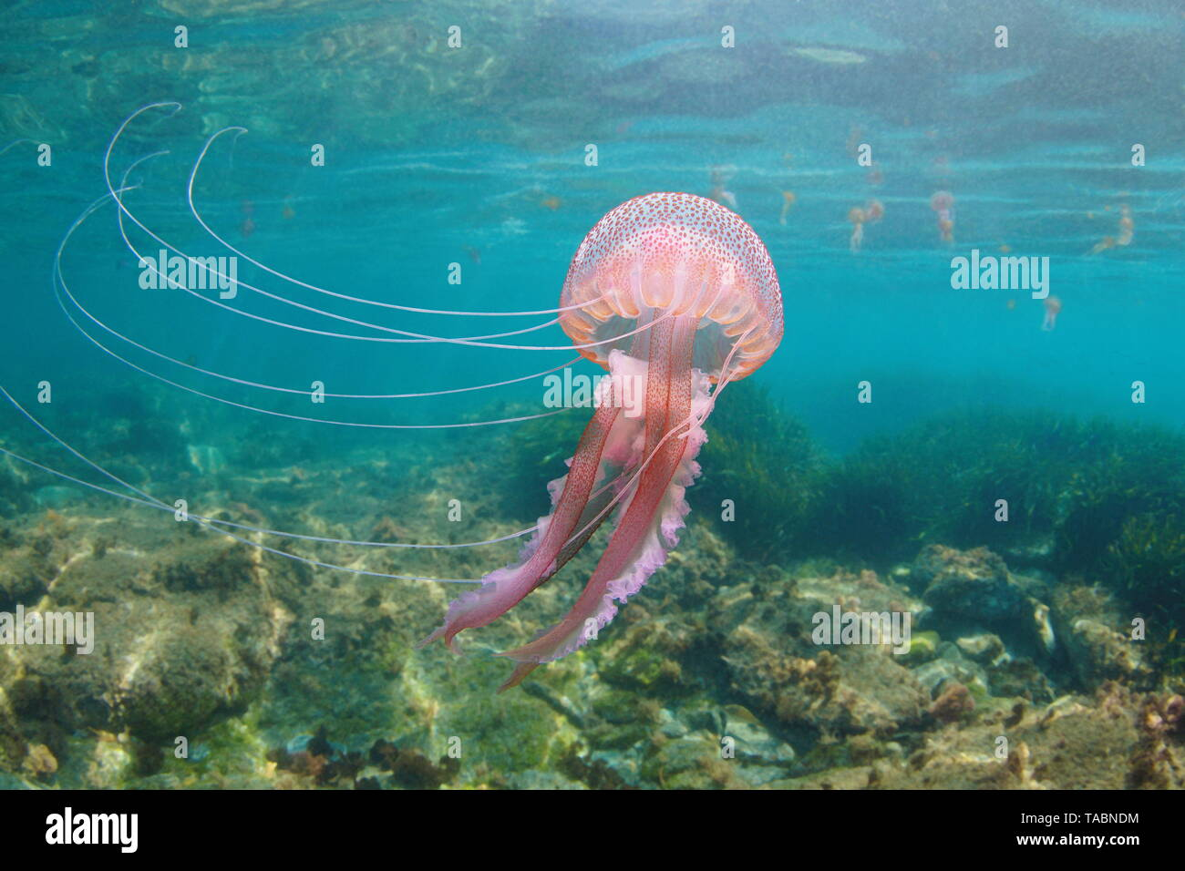 Beautiful jellyfish underwater in Mediterranean sea, Mauve stinger Pelagia noctiluca - Stock Image