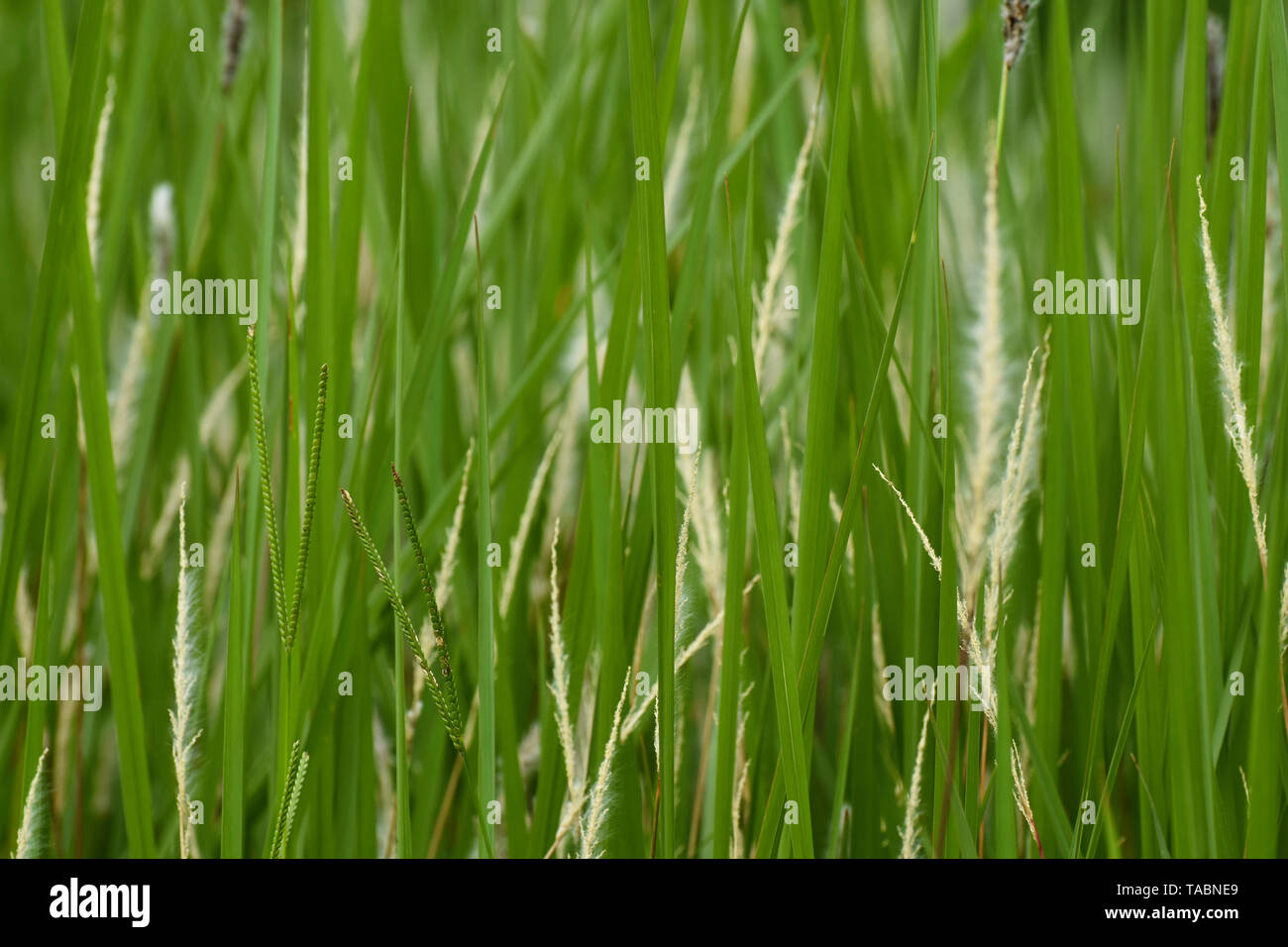 Green Grass Blades And Seeds Close-up Frame - Stock Image
